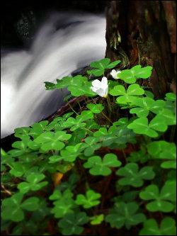 Clovers near a waterfall