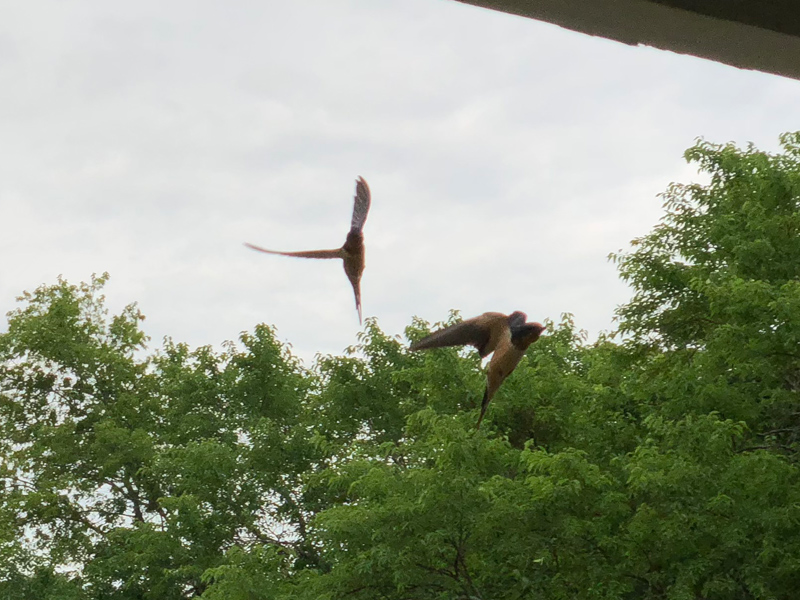 Barn swallows in flight.