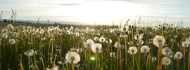 Fluffy dandelions