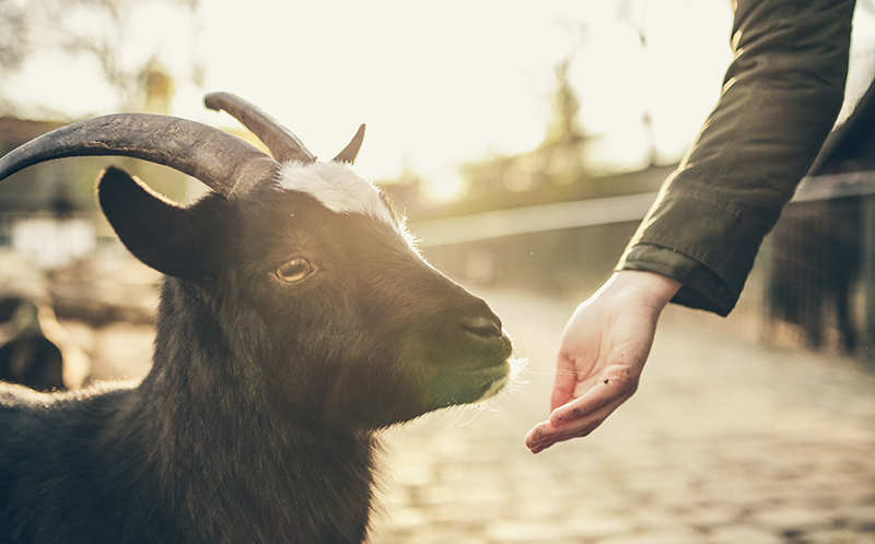 Goat looking at someone's hand