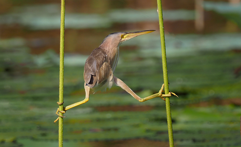 American bittern between two reeds.