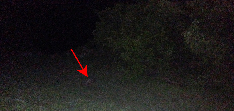 Late Night Armadillo Sighting at Cooper Lake State Park