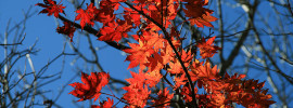 Red maple leaves changing with the season