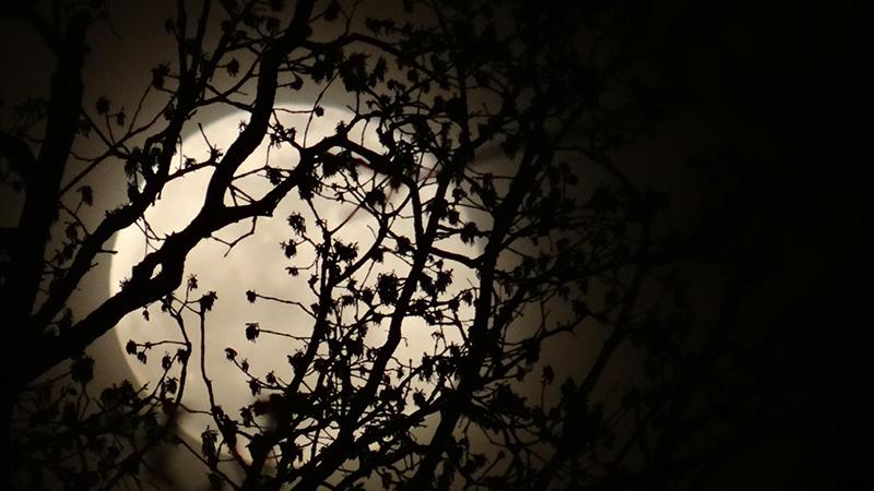 Moonrise behind a tree