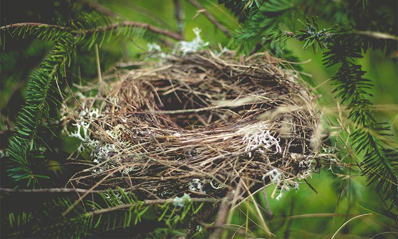 Bird nest in a pine tree.