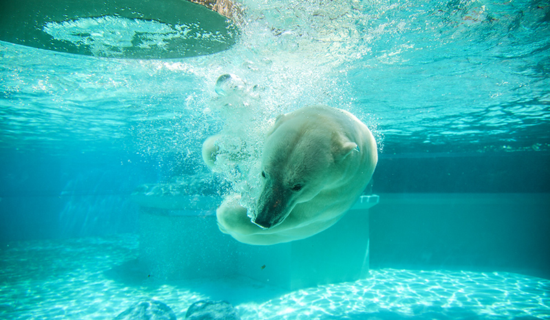 Polar bear diving underwater.