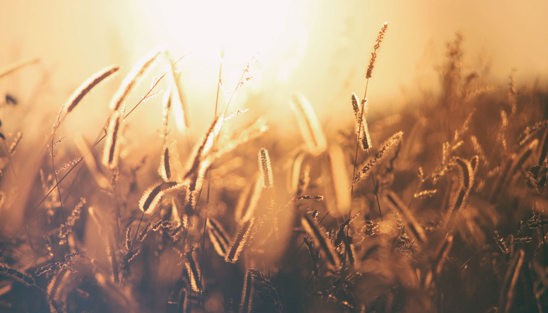 A tight shot of amber wild grasses glowing in low sunlight.